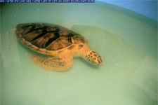Watch the endangered sea turtles at local sea turtle hospital, Sea Turtle Inc. on the South Padre Sea Turtle Cam