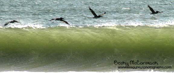 surfing pelicans